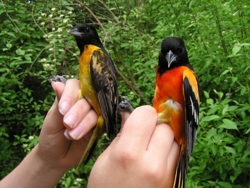 A younger and an older male Baltimore Oriole.