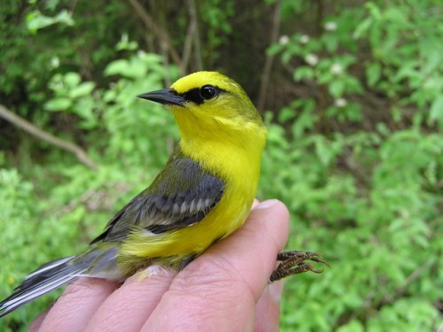 A male Blue-winged Warbler