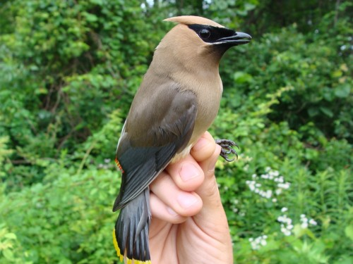 Adult Cedar Waxwing Photo by Samantha Gonzalez