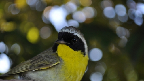 Adult male Common Yellowthroat.  Photo by Tom Klotzbach