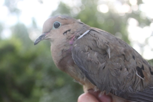 First-ever Mourning Dove banded at Dead Creek.  Photo by Ryan Kayhart