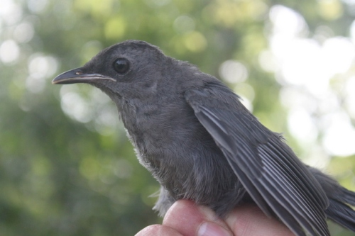 Hatch year Gray Catbird.  Photo by Ryan Kayhart