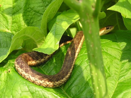 A Garter Snake enjoys the warmth as he basks amid the Catalpa leaves