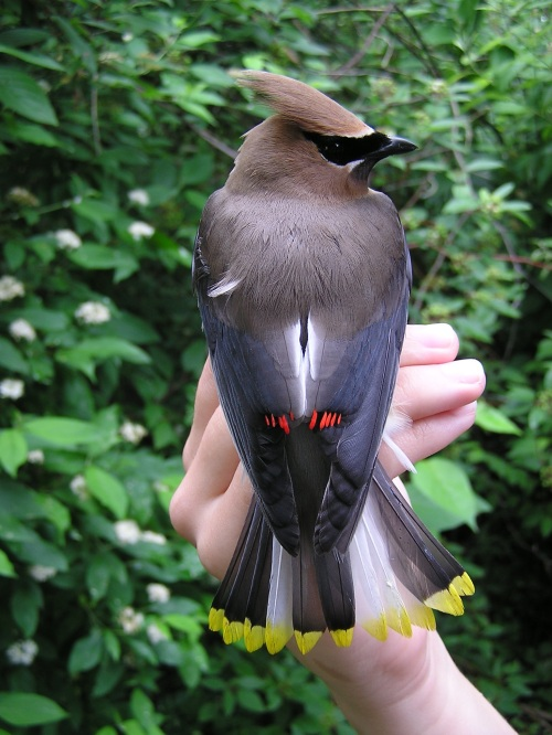 A Cedar Waxwing with  leucistic tail feathers