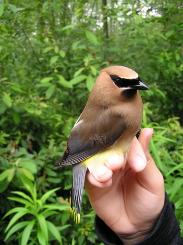A Cedar Waxwing with just a hint of Bohemian-like spots