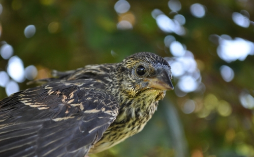 Young Red-winged Blackbird.  Photo by Tom Klotzbach