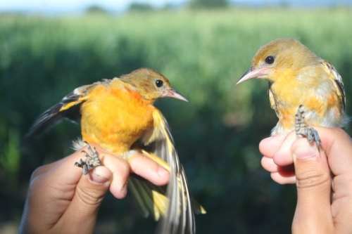 Two Baltimore Orioles!  Photo by Ryan Kayhart