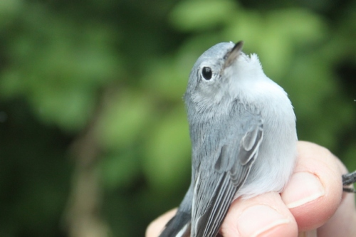 Pert little HY-U Blue-gray Gnatcatcher.  Photo by Ryan Kayhart