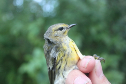 First Cape May Warbler of the season.  Photo by Ryan Kayhart