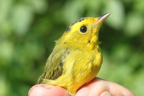 The second Wilson's Warbler of the season - a young male. Photo by Ryan Kayhart.