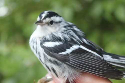 Stunning HY male Black-and-white Warbler.  Photo by Ryan Kayhart