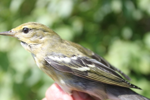 Blackpoll Warbler in Fall (Basic) Plumage.  Photo by Ryan Kayhart