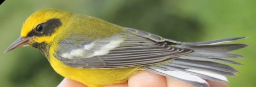 Lawrence's Warbler.  Photo by Kathy Habgood