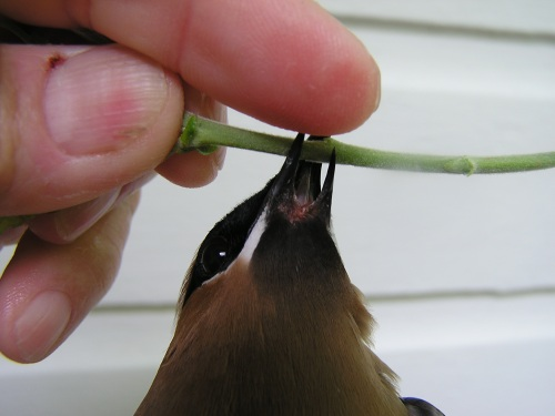 This older male Cedar Waxwing had a cleft lower mandible.  He was beautiful otherwise (with a full complement of waxy tips) and clearly has survived many years with this malady.