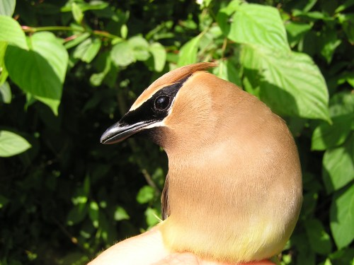 A second-year male Cedar Waxwing becomes BBBO's 200,000th bird.