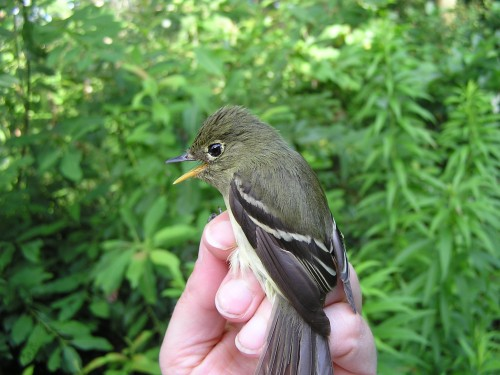 A Yellow-bellied Flycatcher banded 8/4/13.  The photo doesn't quite do justice to her greenish back and yellowish belly.  She arrived only two days past the record early fall date set in 2004.