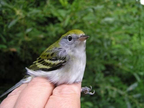 A young Chestnut-sided Warbler.