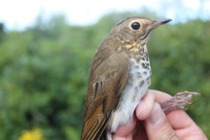 First Swainson's Thrush of Fall Photo by Ryan Kayhart