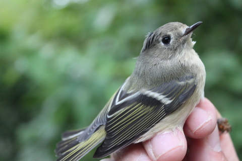The first Ruby-crowned Kinglet of the Fall.  Photo by Ryan Kayhart.