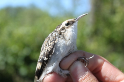 First Fall Brown Creeper Photo by Ryan Kayhart