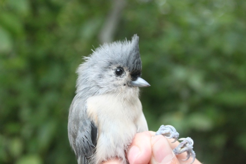 Cute Young Tufted Titmouse Photo by Ryan Kayhart