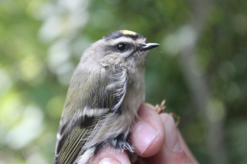 First Golden-crowned Kinglet of Fall Photo by Ryan Kayhart