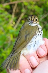 First Fall Ovenbird Photo by John Waud