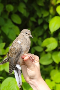 First Mourning Dove of the Fall Season Photo by John Waud