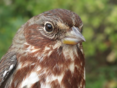 AHY Fox Sparrow Photo by Peggy Keller