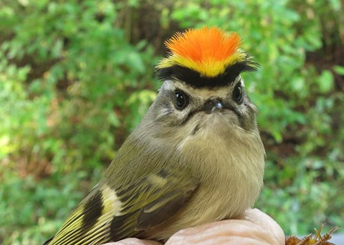 Male Golden-crowned Kinglet  Photo by Peggy Keller