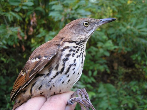 A hatch year Brown Thrasher.  Note the light yellow eye, which will darken with age.