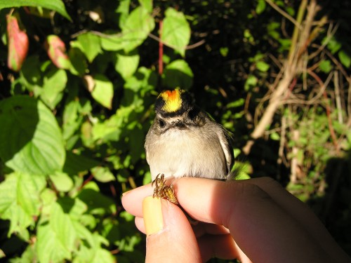 A male Golden-crowned Kinglet, showing off his orange and gold.
