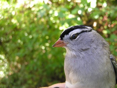 An adult Gambel's White-crowned Sparrow. This subspecies is found in the western half of the US, but they appear to show up in the Northeast occasionally during fall migration.