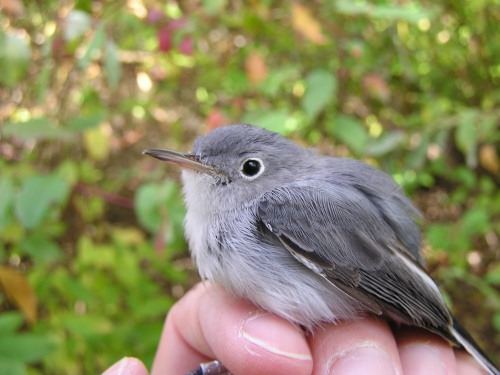 A young Blue-gray Gnatcatcher brightened our day.