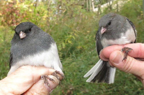 Dark-eyed Juncos by the Twos Photo by Peggy Keller