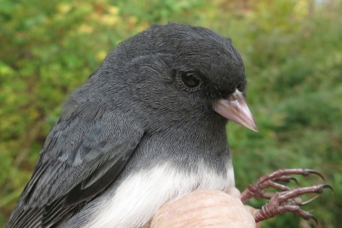 Dark-eyed Juncos by the Ones Photo by Peggy Keller