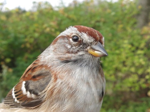 New Species for Fall AHY American Tree Sparrow Photo by Peggy Keller