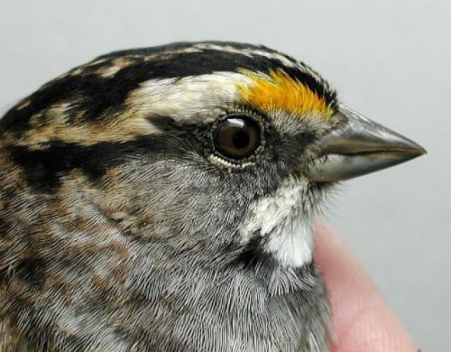 White-throated Sparrow Orange-tinged Lores