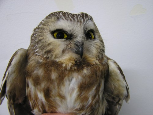 Our third owl, looking fierce!
