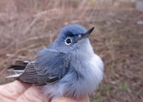 Blue-gray Gnatcatcher Photo by Peggy Keller