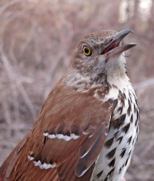 First Brown Thrasher of Spring Photo by Peggy Keller