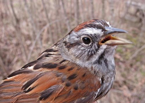 Swamp Sparrow Photo by Peggy Keller