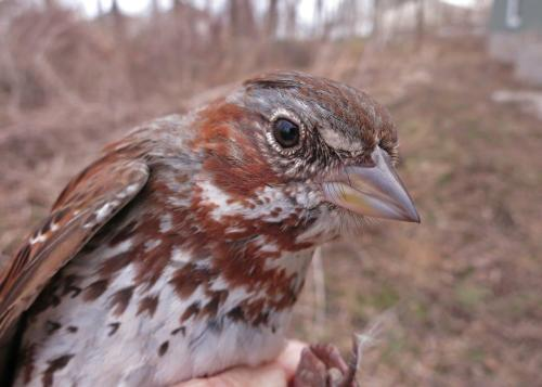 Handsome Fox Sparrow Photo by Peggy Keller