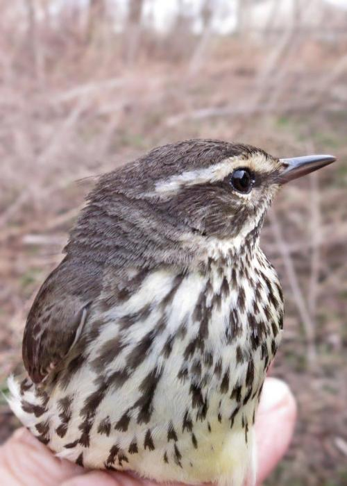 Northern Waterthrush  Photo by Peggy Keller