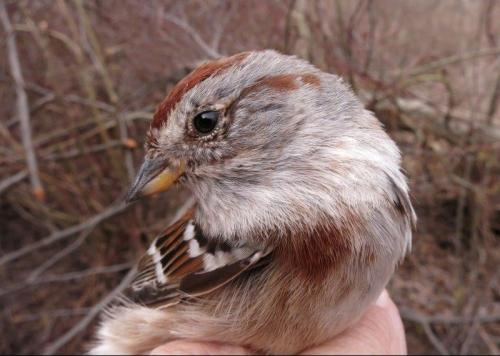 American Tree Sparrow Photo by Peggy Keller