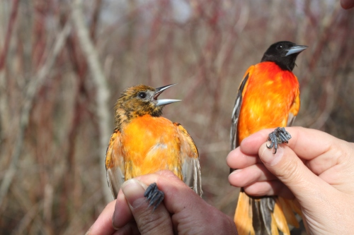 Female & Male Baltimore Orioles Return to Braddock Bay Photo by Ryan Kayhart