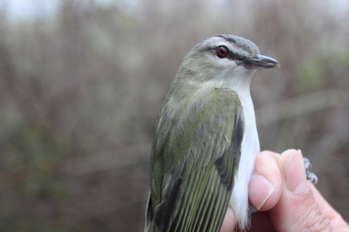 Red-eyed Vireo  Photo by Ryan Kayhart