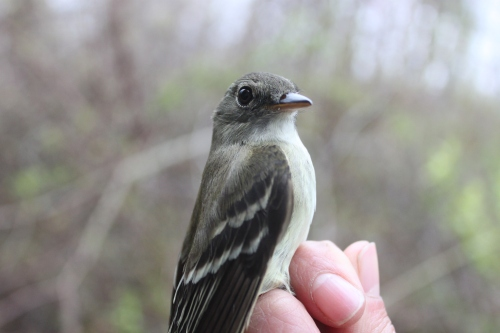 First Traill's Flycatcher of the Spring Photo by Ryan Kayhart