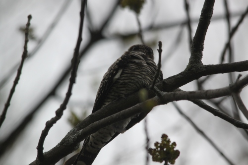 Roosting Common Nighthawk Photo by Ryan Kayhart