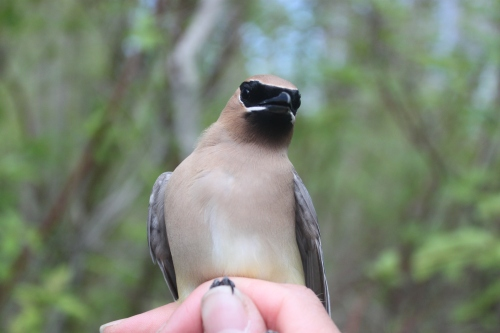 First Cedar Waxwing of the Spring Photo by Ryan Kayhart